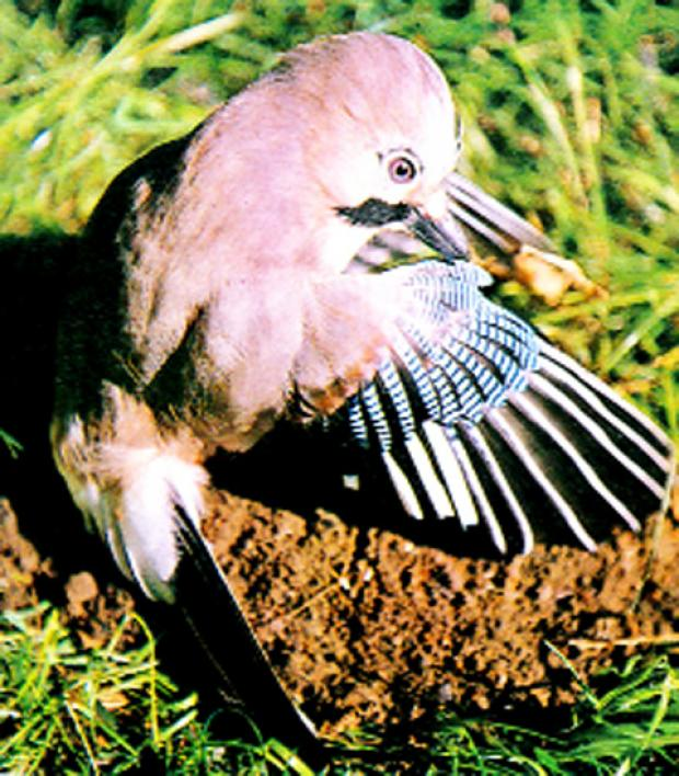 A jay delouses in an ants' nest