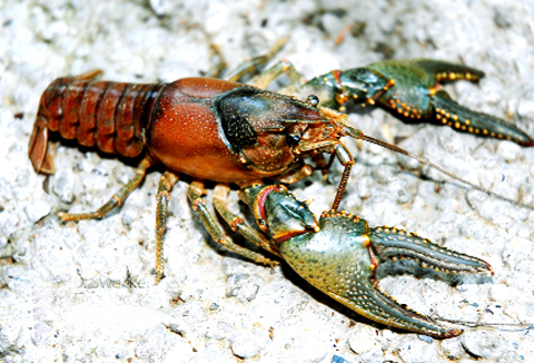 A fatal disease is affecting our native crayfish