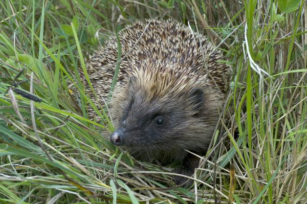 Call to help East Lancashire hedgehogs