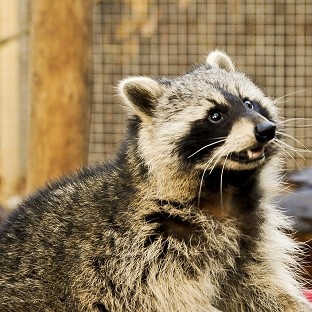 A raccoon has dug its way out of a Somerset zoo