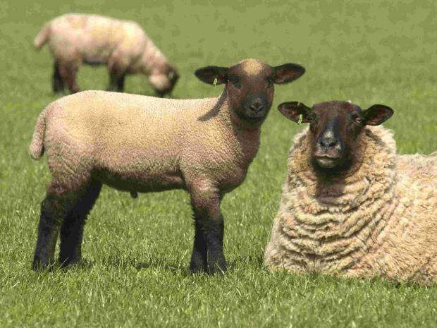 Burnley and Pendle Citizen: Sheep rustlers from Yorkshire stealing from Pendle flocks