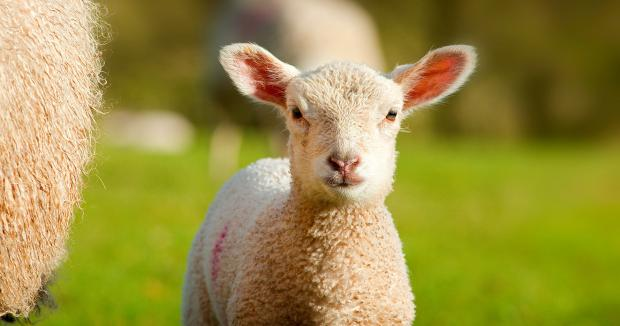 Burnley and Pendle Citizen: Dog owners urged to keep pets away from sheep