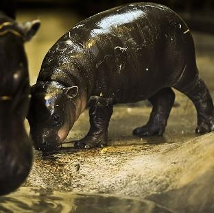 Burnley and Pendle Citizen: Winnie the three-week-old pygmy hippo stays close to mum Sirana at Bristol Zoo Gardens