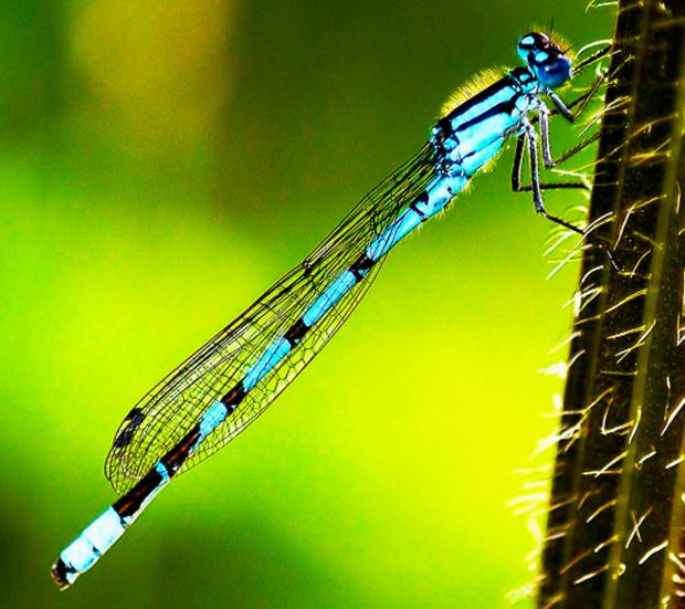 Burnley and Pendle Citizen: People are being asked to monitor dragonflies and damselflies