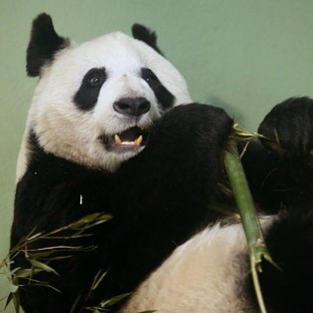 Burnley and Pendle Citizen: Tian Tian failed to mate naturally so has been artificially inseminated