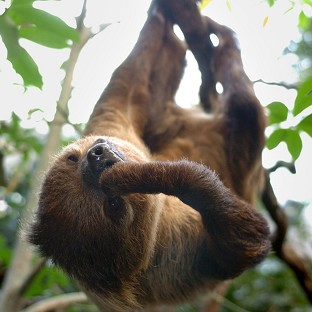 'Sneaky' sloths produce baby shock