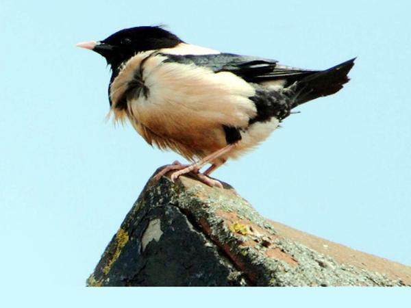 Burnley and Pendle Citizen: A rosy-coloured starling has made itself at home in East Lancashire